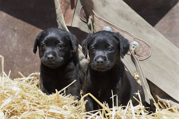 Confidence Photograph - Two Black Labrador Retrievers Sitting by Zandria Muench Beraldo