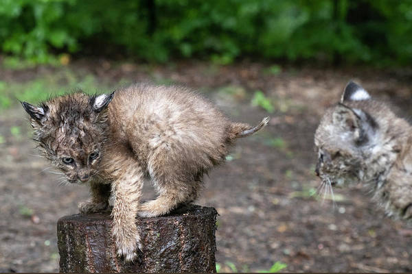 Photograph - Two Bobcat Siblings On Stumps by Dan Friend