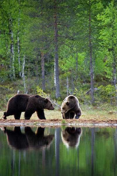 Bear Country Wall Art - Photograph - Two Brown Bears Playing At A Lake by Guenterguni