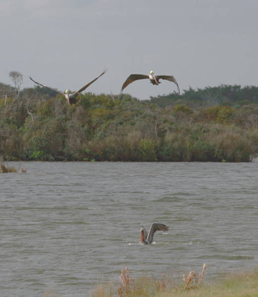 Pelican Island National Wildlife Refuge Wall Art - Photograph - Two Brown Pelicans Flying Over White Pelican by Cathy Lindsey