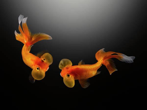 Fish Tank Photograph - Two Bubble Eye Goldfish In Dark Water by Sabine Scheckel