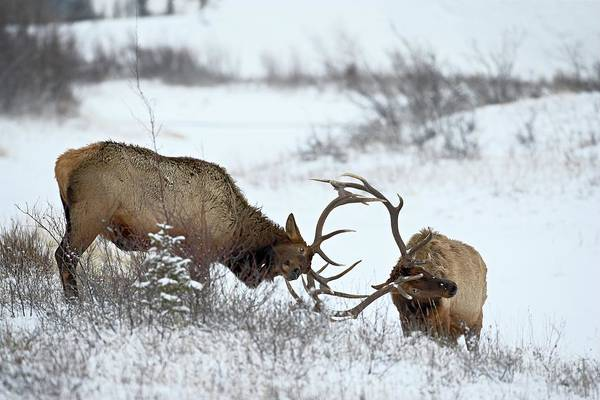 Wall Art - Photograph - Two Bull Elk Cervus Canadensis Sparring by James Hager / Robertharding