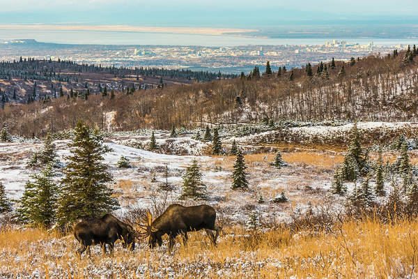 Wall Art - Photograph - Two Bull Moose  Alces Alces  Fighting by Michael Jones
