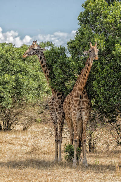 Wall Art - Photograph - Two-by-two Giraffes by Stephen Stookey