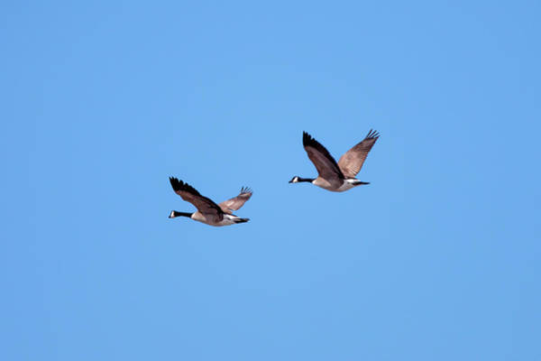 Wall Art - Photograph - Two Canadian Geese by Todd Klassy