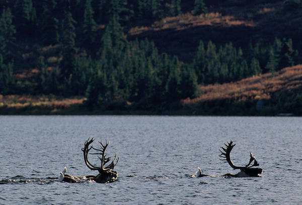 Covering Photograph - Two Caribou Bulls Rangifer Tarandus In by Danita Delimont