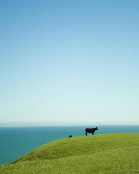 Free Range Photograph - Two Cattle On Grass Overlooking Sea by Kieran Scott