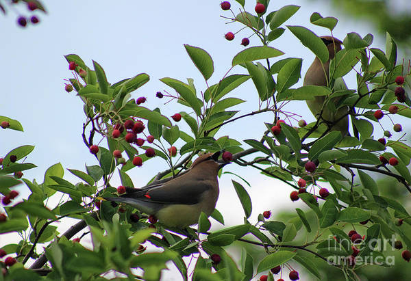 Photograph - Two Cedar Waxwings by Karen Adams