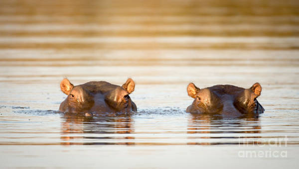 Hippopotamus Amphibius Wall Art - Photograph - Two Common Hippopotamus In The Water At by Tony Campbell