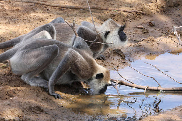 Northern India Photograph - Two Common Langurs Drinking by David Hosking