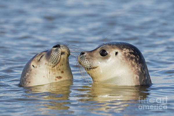 Photograph - Two Common Seals by Arterra Picture Library