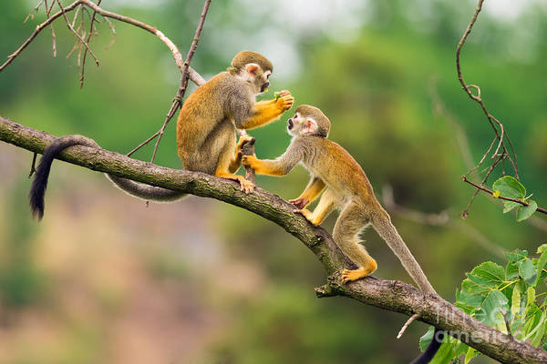 Lovely Wall Art - Photograph - Two Common Squirrel Monkeys Saimiri by Nick Fox