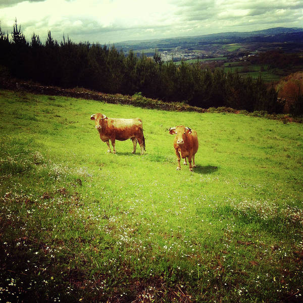 Galicia Photograph - Two Cows by Salomé Fresco