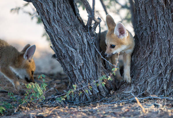 Safari Wall Art - Photograph - Two Cute Baby Cape Foxes Exploring by Otto Du Plessis