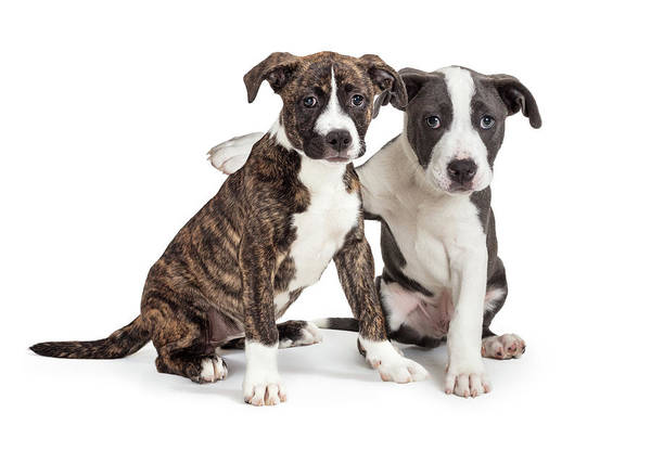 Wall Art - Photograph - Two Cute Puppies Arm Around Each Other by Susan Schmitz