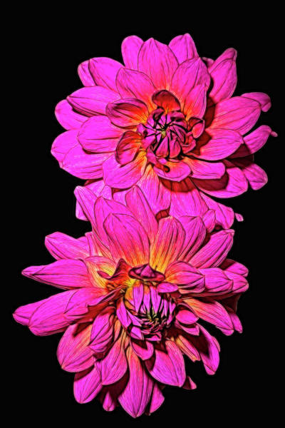 Photograph - Two Dahlias by Wes and Dotty Weber