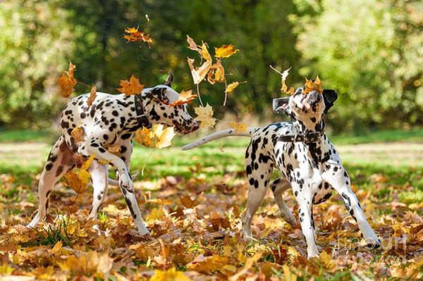 Two Friends Wall Art - Photograph - Two Dalmatian Dogs Playing With Leaves by Grigorita Ko
