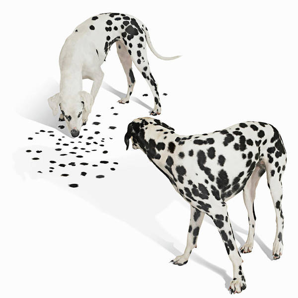 Dalmatian Dog Photograph - Two Dalmations, One Looking Down At by Gandee Vasan