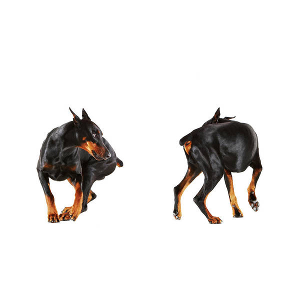 Shoulder Photograph - Two Dobermans Looking At Each Other by Thomas Northcut