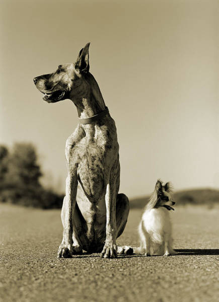Great Dane Photograph - Two Dogs Sitting In The Road, Looking by Rosanne Olson