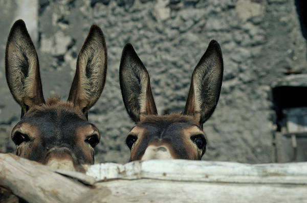 Horizontal Photograph - Two Donkeys Peering Over Fence, Close-up by Jochem D Wijnands
