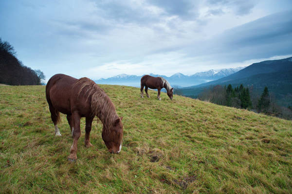 Draft Horses Photograph - Two Draft Horses Feeding In Front Of by Olaf Broders