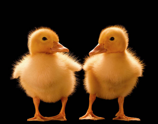 Duckling Photograph - Two Ducklings Looking At One Another by Don Farrall