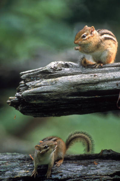Chipmunk Photograph - Two Eastern Chipmunks by Novastock