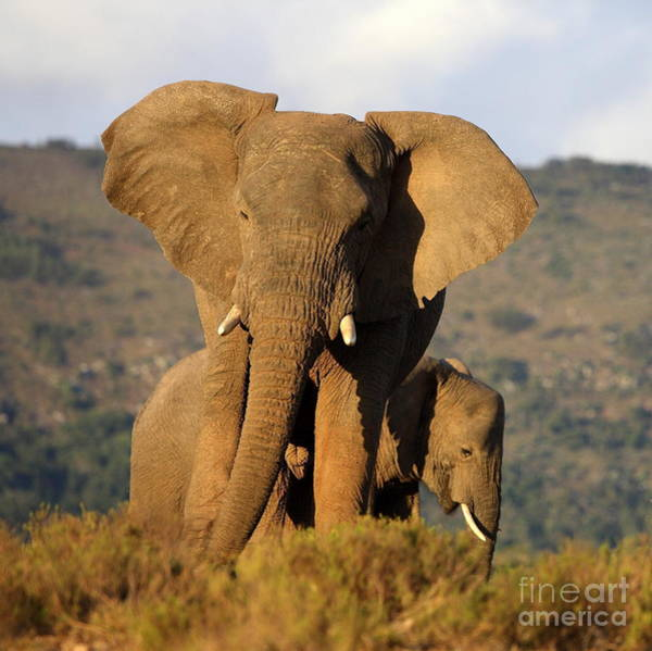 Wise Wall Art - Photograph - Two Elephants In Golden Light. Taken On by Jonathan Pledger