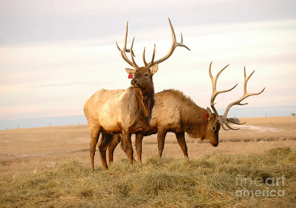 Wall Art - Photograph - Two Elk by Lorraine Swanson