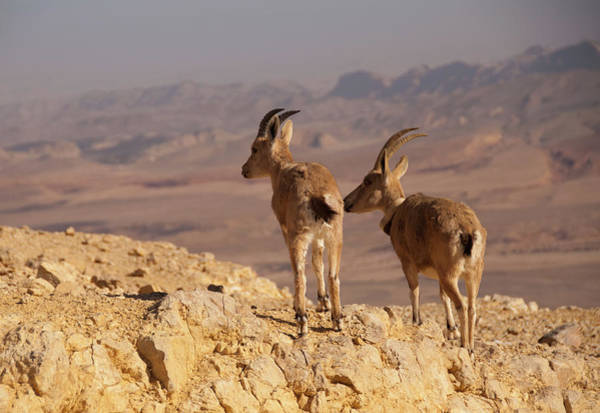 Ibex Wall Art - Photograph - Two Female Ibex On Cliff In Desert by Ilan Shacham