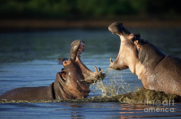 Wall Art - Photograph - Two Fighting Hippos Hippopotamus by Johan Swanepoel
