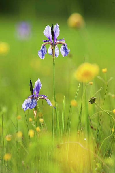 Marsh Grass Photograph - Two Flowers Of Siberian Iris In by Olaf Broders