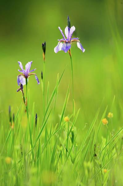 Marsh Grass Photograph - Two Flowers Of Siberian Iris Iris by Olaf Broders