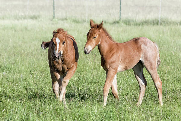 Photograph - Two Foals In Chiloquin, No. 1 by Belinda Greb