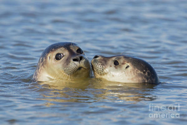 Photograph - Two Friendly Seals by Arterra Picture Library