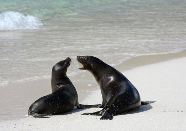 Galapagos Islands Wall Art - Photograph - Two Galapagos Sea Lions by Photography By Jessie Reeder