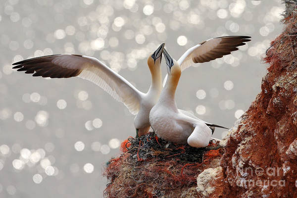 Wall Art - Photograph - Two Gannets. Bird Landing On The Nest by Ondrej Prosicky