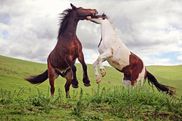 Wall Art - Photograph - Two Geldings Playing In Pasture by Laura Palazzolo