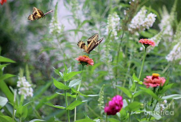 Photograph - Two Giant Swallowtails In The Garden by Karen Adams