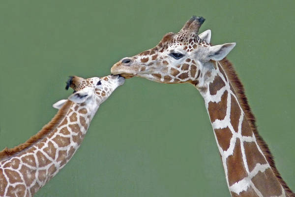 Giraffe Photograph - Two Giraffes by Images By Nancy Chow