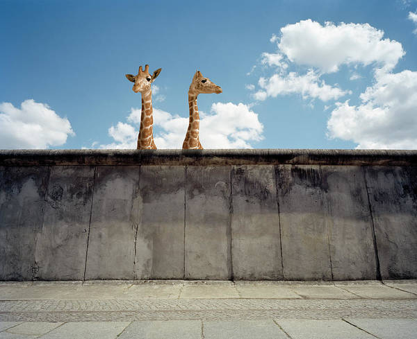 Out Of Context Photograph - Two Giraffes Watching From A Wall by Matthias Clamer