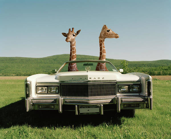 Out Of Context Photograph - Two Giralffes In A Convertible by Matthias Clamer