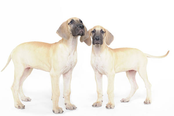 Great Dane Photograph - Two Great Danes by Studio 504