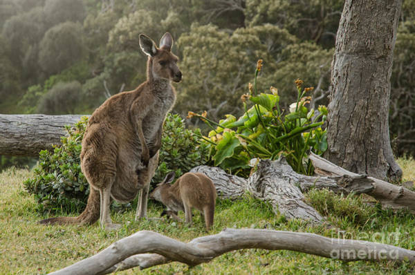 Wall Art - Photograph - Two Grey Kangaroos In Australian by Mastersky