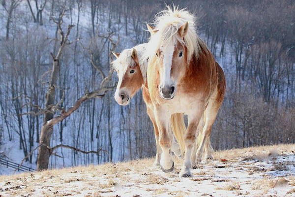 Draft Horses Photograph - Two Horses On Snowy Hill In Winter by Driftless Studio