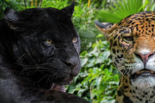 Photograph - Two Jaguars by Arterra Picture Library
