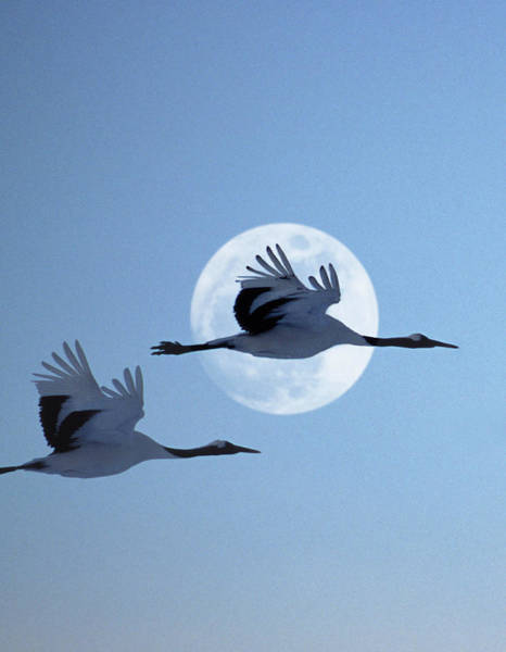 The Crane Photograph - Two Japanese Cranes Flying Past Moon At by Grant Faint