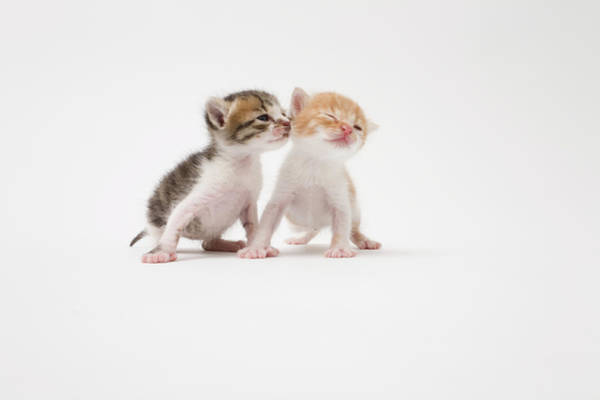 Wall Art - Photograph - Two Kittens Kissing Against White by Ichiro
