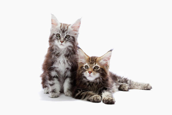 Two Kittens Of Maine Coon Cat Art Print